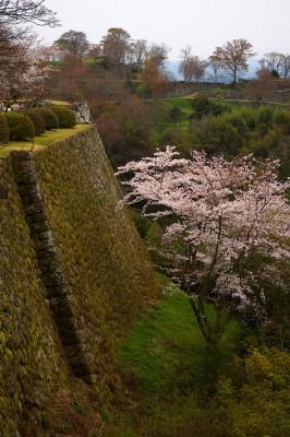 岡城趾の桜