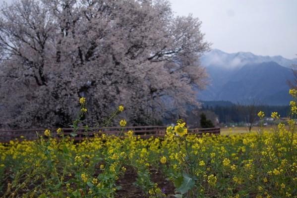 2009_03_30_asosakura034