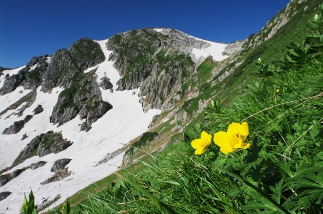 青い空に白い雪渓のコントラストに黄色い花はシナノキンバエのようです