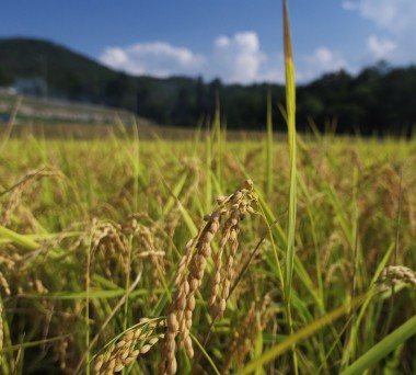 黄金色の稲が青空に映えています