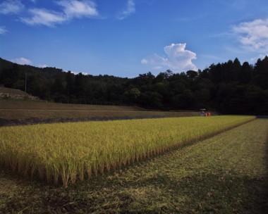 刈り取る前の田んぼです