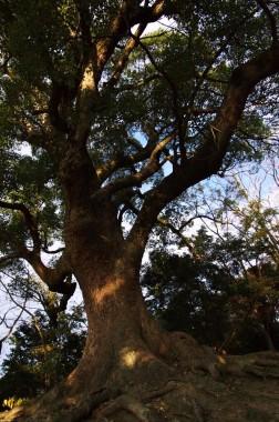 灯台の横にある楠の大木