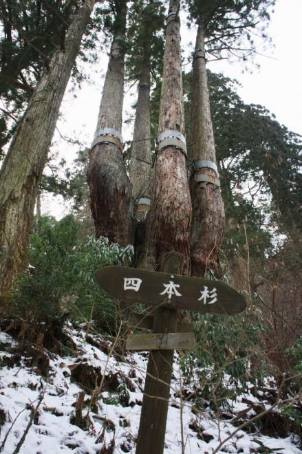 巨木100選の四本杉