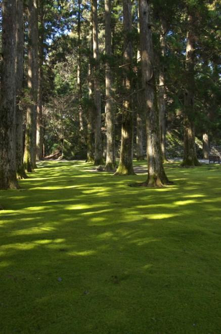 飫肥城跡本丸にある、飫肥杉