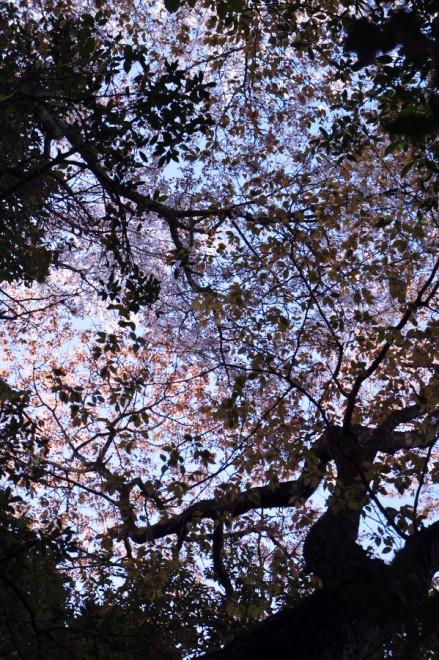 森の木々の上に咲いている桜