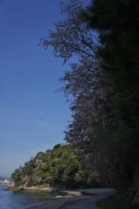 海岸の遊歩道で花見