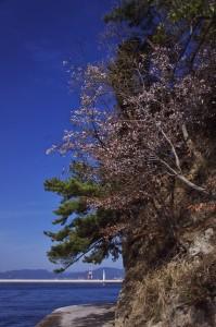 海岸の遊歩道の桜