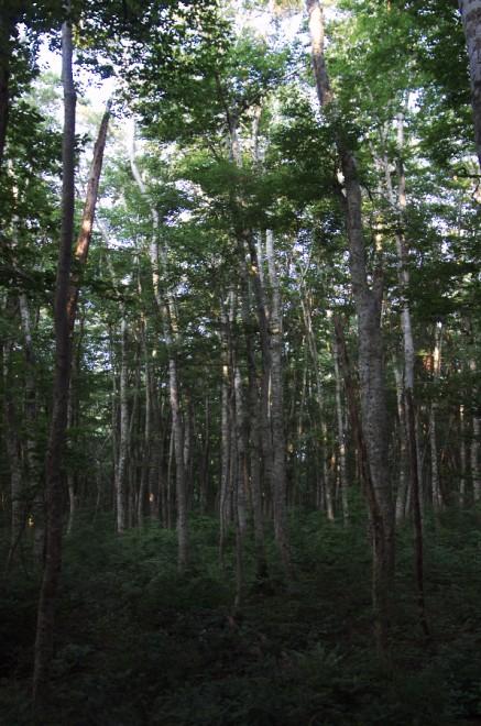 ブナ林の大山環状線を走る