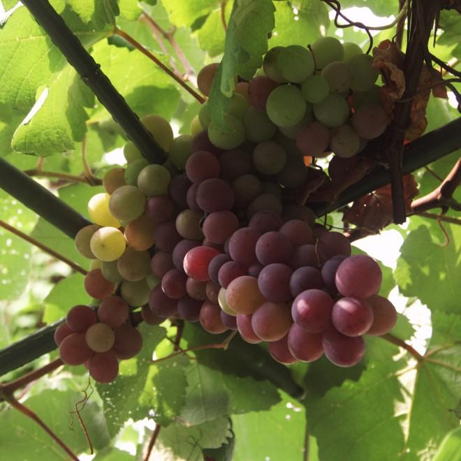 玄関横の葡萄棚で葡萄が大きくなってきた