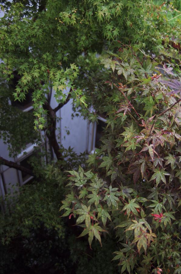 中庭のモミジが雨で映えています