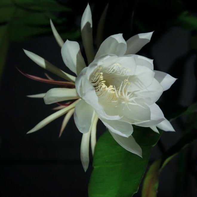 今年3回目の開花となる月下美人