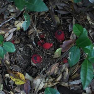 土鳥黐(ツチトリモチ) ハイノキ属の根に寄生する