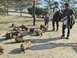 仙酔島には狸がいっぱい