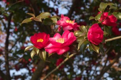 寒椿が道のあちこちで咲いている