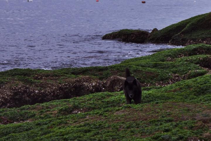 カイは海が怖いのだが、アオサの岩場を散歩している
