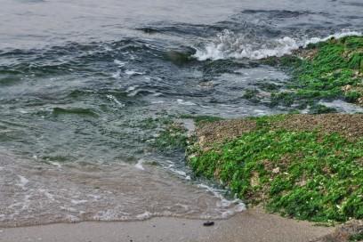 アオサの岩場は満潮で波に洗われています
