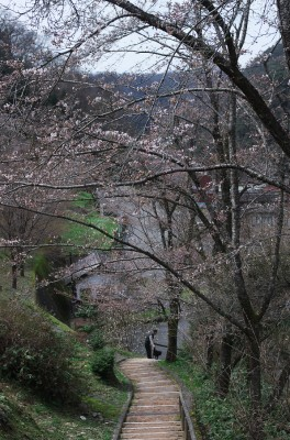 桜は7分咲き