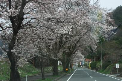 国道375号線も桜が綺麗