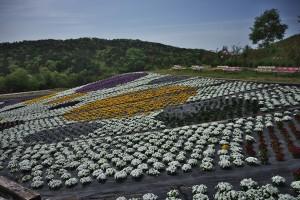 ビオラの花絵も広がっています