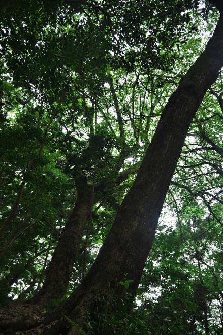 クスノキの大木の横にある遊歩道