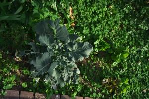 庭に植えたレタスなどの野菜たち