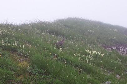 12:52 尾根道で多くの雷鳥と出会います