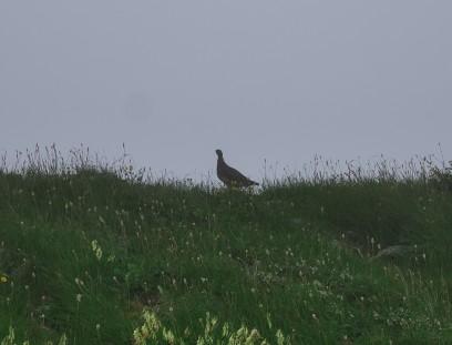 小蓮華への稜線では雷鳥に出会います