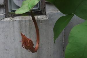 小さな葉から大きな蕾が
