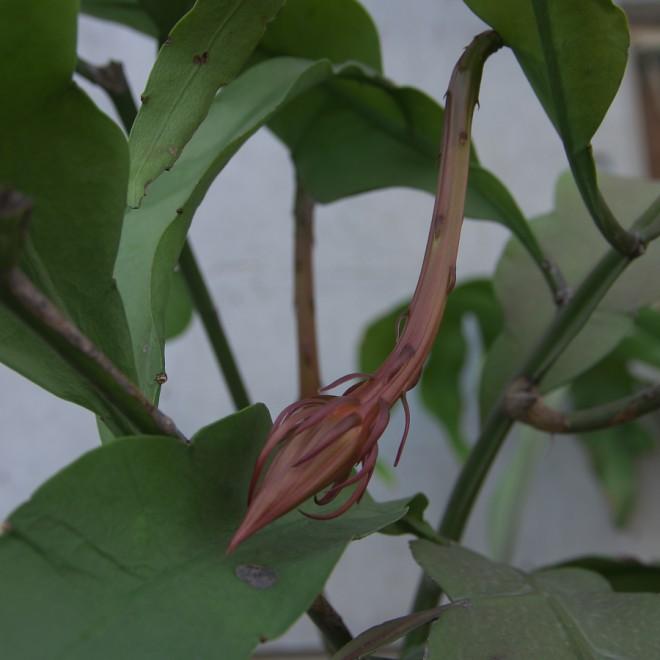 茎が大きく育って蕾が大きく