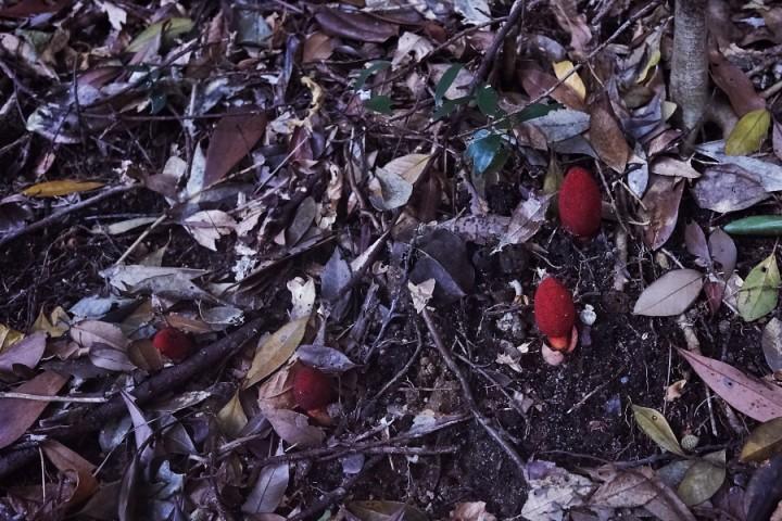 土鳥黐(ツチトリモチ)の群生 中国地方では元宇品しか確認できていない