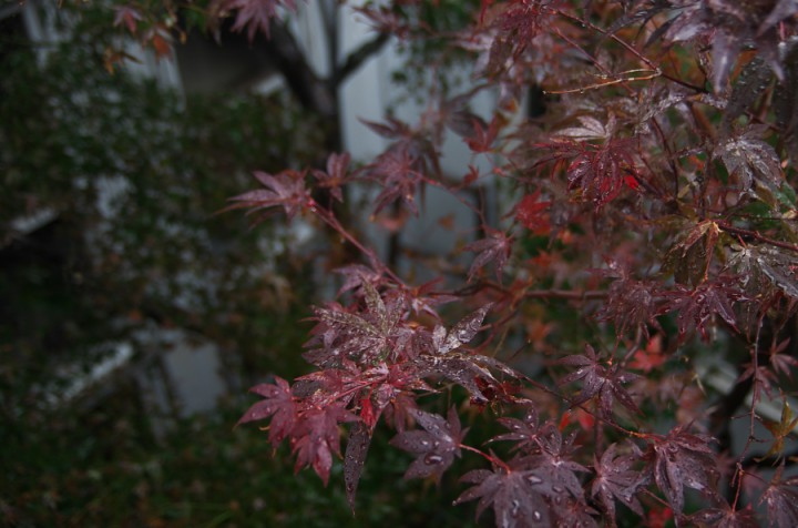 中庭の紅葉が雨で色が鮮やか