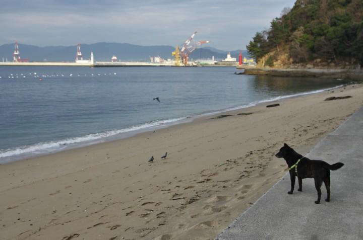 浜ではカモメではなくハトがいる