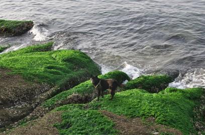 アオサの海岸をカイが歩く