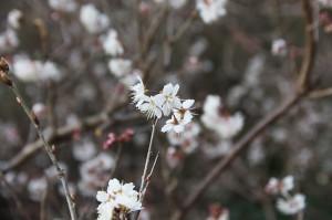 早咲きの桜かな