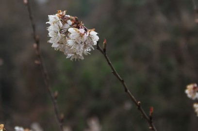 元宇品に早くから咲いたサクラはもう終わり