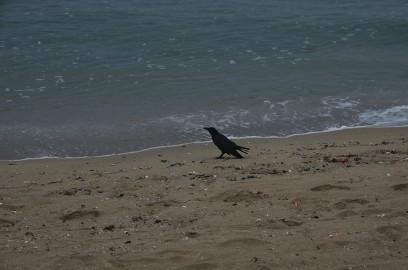 海岸には白いカモメではなく黒いカラスが