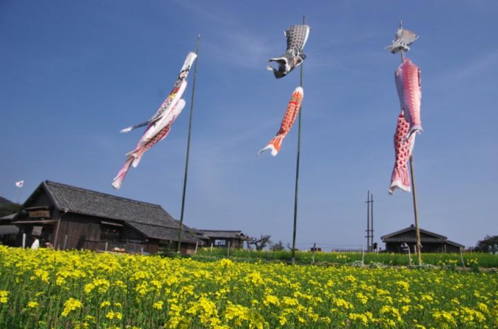 24の瞳映画村では菜の花が満開