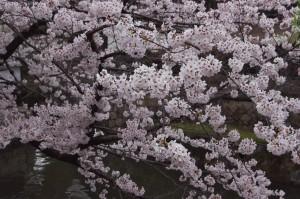 倉敷美観地区は桜が満開