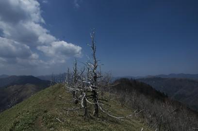 11:45 j熊笹の縦走路には白骨木が多い