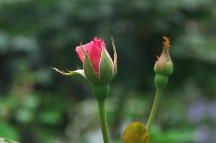 薔薇の蕾が可憐ですね