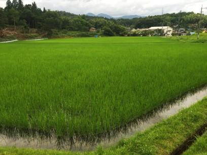 自然栽培の稲作が広がる