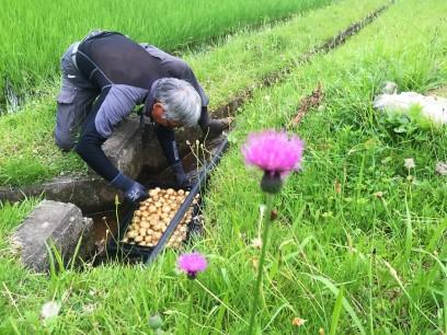 収穫したジャガイモを用水路で洗う