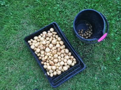 収穫した自然栽培で完全無農薬のジャガイモ