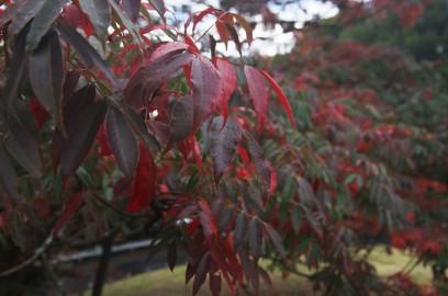 雨に濡れて赤い葉が鮮やかになった