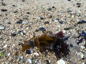 打ち上げられた海藻・・・