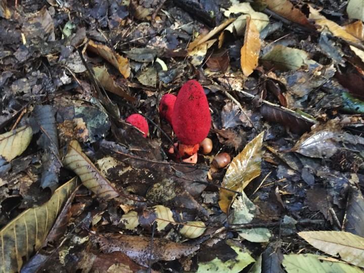 ツチトリモチ(土鳥黐)寄生植物です