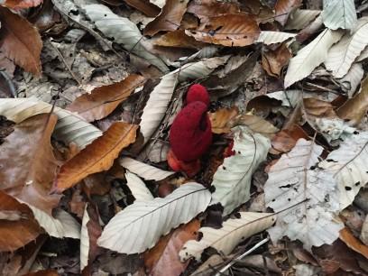 ツチトリモチはまだ枯れ葉の中で元気