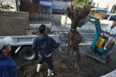 切り倒した木の根を撤去