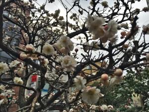 お寺の梅が満開