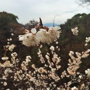 早くも桜が咲いている